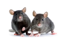 Rats, Mice & Infestation Cleaning
